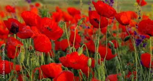 Fototapeta Field of poppies
