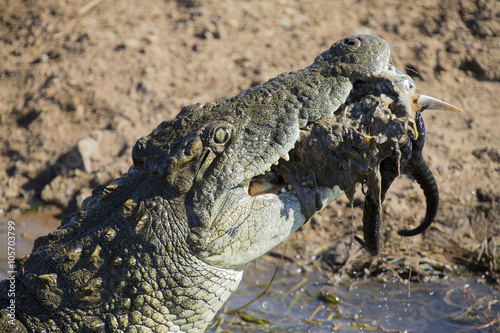Poster Big crocodile eats the head of springbok with horns