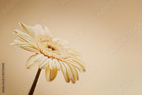 Zdjęcia na płótnie, fototapety, obrazy :  One Pale Pink Gerbera flower
