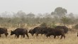 Herd of African buffaloes (Syncerus caffer) in natural habitat, Kruger National Park, South Africa