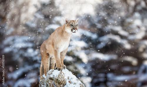 Fotobehang Leeuw Portrait of a cougar in the snow, Winter scene in the woods, wi