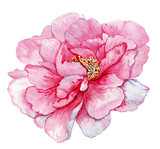 watercolor,flower,postcard,peony,