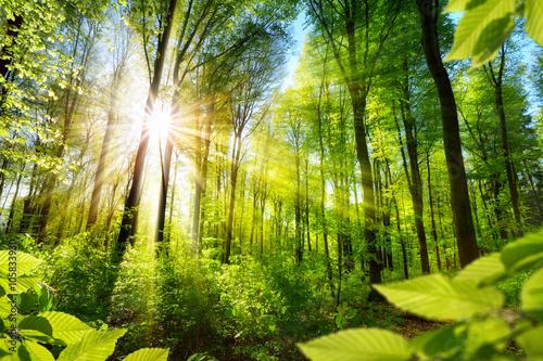 Poster Sonnenbeschienene Laubbäume im Wald