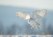 Snowy owl taking off from snowy plain, with clean blue background, Czech Republic, Europe