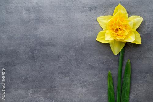Żółci daffodils na szarym tle. Wielkanocny kartka z pozdrowieniami.