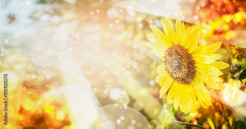 Foto op Canvas Geel Summer or autumn nature background with pretty sunflower , outdoor scenery
