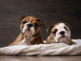 Two English bulldog puppy. Portrait. Muzzle dog close. Puppies are 3 months. White knitted blanket. Background wood  - 105920956