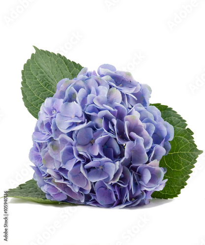 Fotobehang Hydrangea hydrangea flower on white background