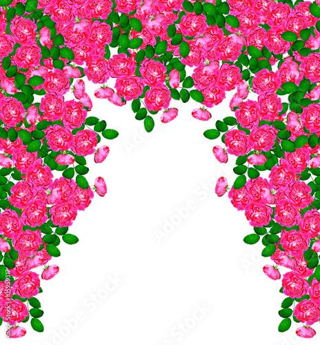 Plexiglas Roze Dog rose (Rosa canina) flowers on a white background