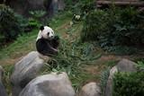 Cute giant panda (Ailuropoda melanoleuca) in wildlife