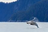 Hampback Whale breaching..