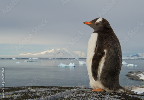 Gentoo penguin standing on the rock, snowy mountains in background, Antarctic Peninsula