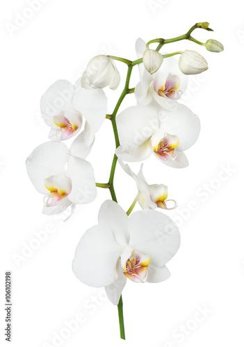 Fototapeta White orchid flower