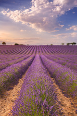 Blooming fields of lavender in the Provence, southern France