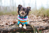 Young Chihuahua dog in a knitted sweater lying down on a tree roots at springtime