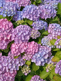 Hortensien, Hydrangea