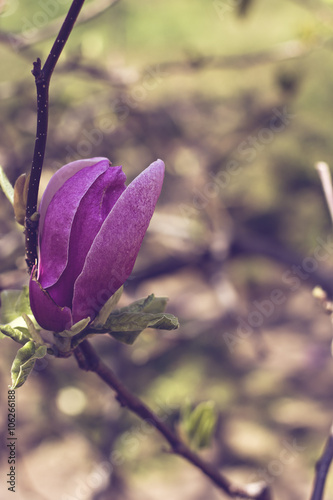 Poster Blooming magnolia branch on a tree in the garden