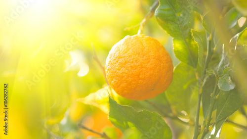dojrzaly-pomaranczowy-obwieszenie-na-drzewie