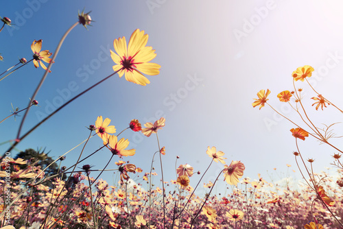 Vintage landscape nature background of beautiful cosmos flower field on sky with sunlight Canvas