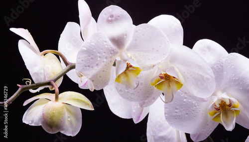 Panel Szklany White orchid on a black background