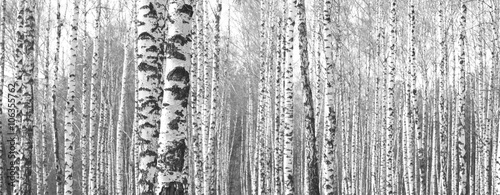 Obraz na Szkle Trunks of birch trees,black and white natural background