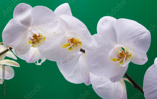 Panel Szklany White orchid isolated on bright color