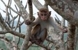 Little monkey, Sri Lanka