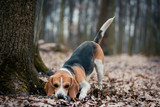 Beagle dog breed, photo made in the forest night, Ukraine, Lviv