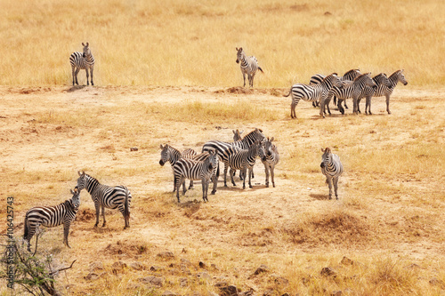 Fotobehang Overige Great migration of zebras in Masai Mara, Africa