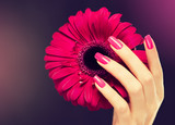 Fototapety Elegant female hands with pink manicure on the nails . Beautiful fingers holding a flower  gerbera .