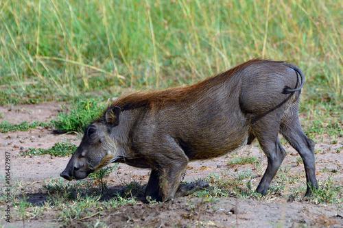 Foto op Canvas Aap Warthog, Maasai Mara Game Reserve, Kenya