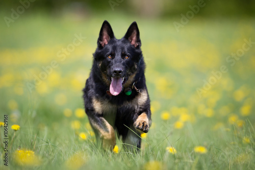 Poszter German Shepherd dog outdoors in nature