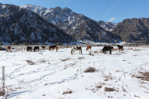 Horses are grazed on a snow glade among mountains in the early spring  © Nataliia Makarova