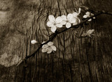 blooming branch of plum tree against the background of an old cracked wooden board. Selective focus. black white toning