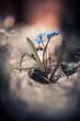 blue snowdrop forest flowers