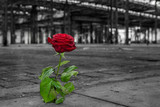 Rose wächst aus Boden - 106487383