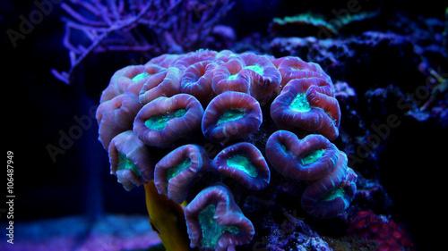 Candy Cane Coral (Caulastrea furcata)
