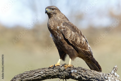 Poster Buzzard (Buteo buteo) perched on a log