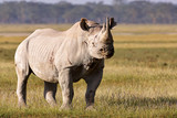 Beautiful black rhino