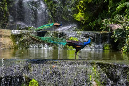 Poster Indian blue peafowl in Kuala Lumpur, KL Bird Park, Malaysia