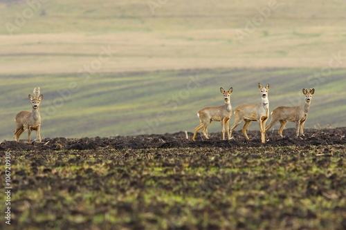 herd of roe deers on agricultural field - 106720930