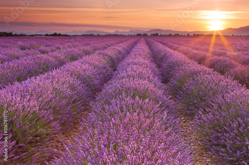 Papiers peints Morning Glory Sunrise over fields of lavender in the Provence, France