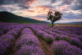 Lavender dawn. Stunning landscape with lavender field at sunrise, Bulgaria.