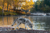 Grey Wolf (Canis lupus) Sniffs Along Riverbank