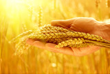 Wheat ears in man's hands. Harvesting concept