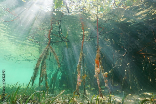 Poster Water planten Sunlight underwater through the water surface and mangrove roots, Caribbean sea