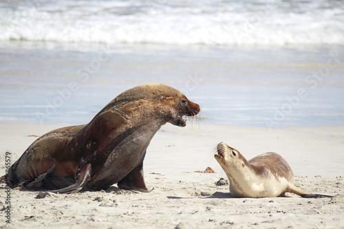 Foto op Canvas Noordzee Australische Seelöwen (Neophoca cinerea)