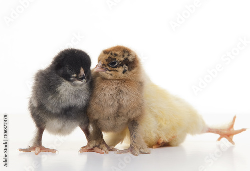 Foto op Canvas Kip Small fluffy chickens