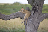Lion cub sleeping on a tree branch
