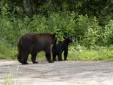 Momma Bear and Cub Heading Home